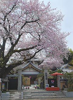 信松院のソメイヨシノ(2017年4月14日撮影)