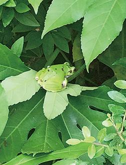 高尾駒木野庭園のモリアオガエル=5月30日撮影