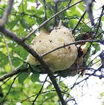 小津町で見られたモリアオガエルの卵