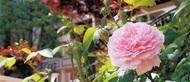 「新緑」包まれ、開花スタート