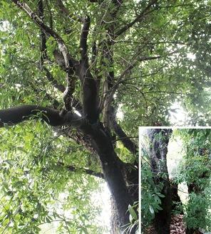 火災を経て140年が経過した今でも、青々した葉をみせているオオツクバネガシ。【右下】木の幹に1平方メートルほどの空洞ができている