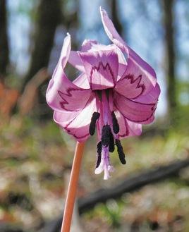片倉城跡公園に咲くカタクリ=提供写真=【カタクリ】…ユリ科。開花時期は3月下旬から4月上旬。薄紫色の花が下向きに咲き、太陽があたる時のみ開花するのだという