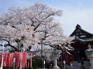 紹介されている桜