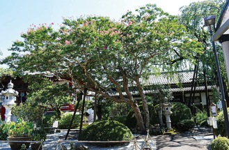 大光寺の百日紅(8月20日撮影)