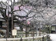 園内彩る梅の乱舞