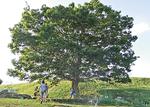 移植前の「つどいの木」
