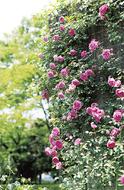 見頃のバラを楽しむ