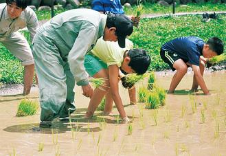 公園の水田に稲を植えていく子どもたち