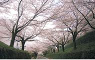大妻の桜並木一般公開