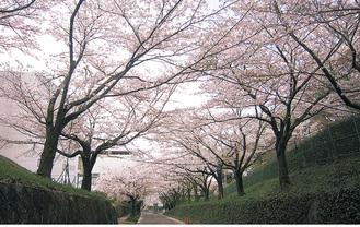 桜並木の「多摩さくら坂」