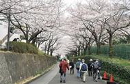 大妻の「桜」を満喫