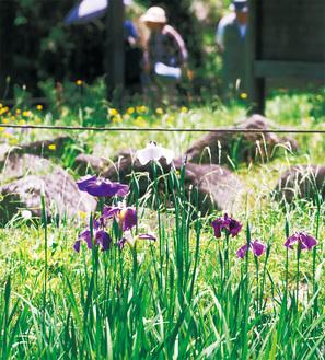 花菖蒲の名所として知られる中沢池公園で咲き誇る=5月30日撮影