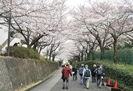 大妻の「桜並木」今年も公開