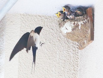 東寺方小学校の人工巣に営巣するツバメ=同調査団提供