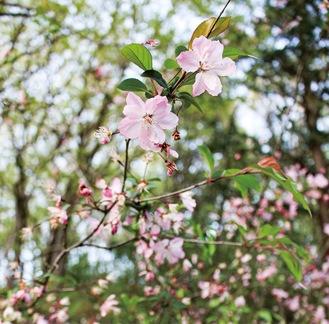 市内の公園に咲く、多摩のヤマザクラ