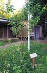 植えられたハナモモ