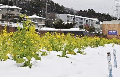 雪と菜の花コラボ