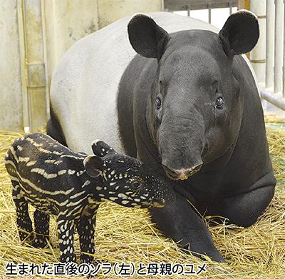 マレーバクの赤ちゃん 誕生