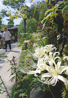彼岸花が咲く常泉寺の参道