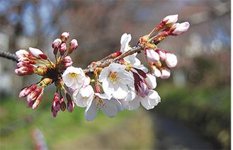 満開時には約470本の桜がピンクのトンネルを作る