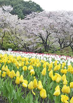 雪舞う中に咲くチューリップと今年最後の桜