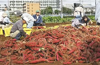 市民の手で収穫された大量のサツマイモ