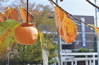 オレンジ色の実の向こうには市役所が