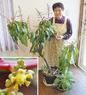 マンゴーの木と石井さん(左下は花)