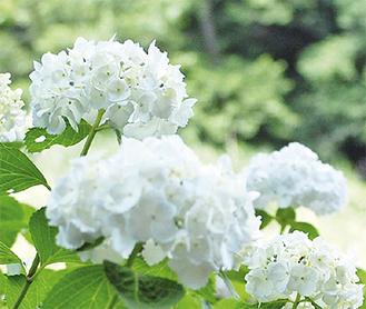 泉の森に咲くアジサイ(6月10日撮影)