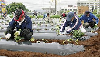 毎年約4トンの紅あずまが収穫できる
