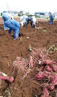 掘り出された「和み」用サツマイモ