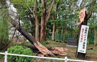 つきみ野駅前の倒木