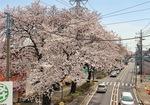 藤沢街道沿いの桜のアーチ
