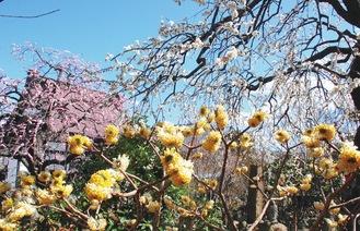 青空に映える三色の花(2月18日撮影)