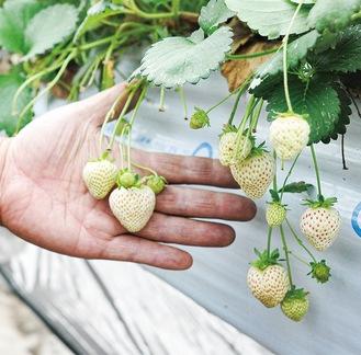 質にこだわり無加温栽培で作られる