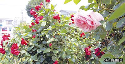 柿の木通りのバラが見頃