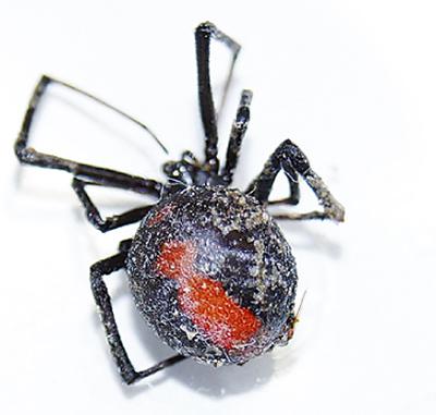 外来種のクモ発見