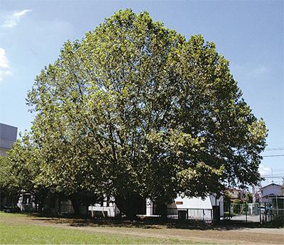 「名誉の木」5本を選定