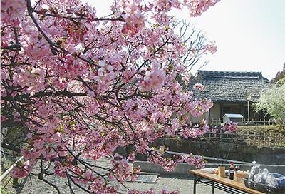 河津桜(カワヅザクラ)が満開