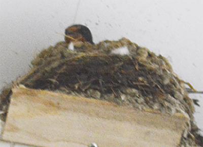 ツバメの営巣