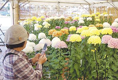 菊50種類を展示