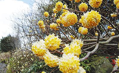 春告げる「花の手毬」