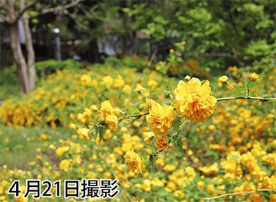 鮮やかに咲くヤエヤマブキ