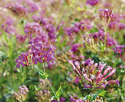 一面に咲く赤紫色の花