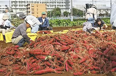「和み」のサツマイモ収穫