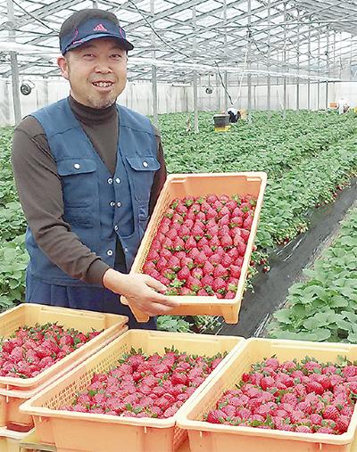 「イチゴ」出荷最盛期