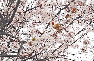 桜に似た紅李(ベニスモモ)が満開