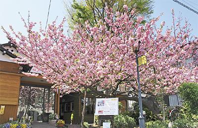 しとやかに 匂いけるかな 八重桜