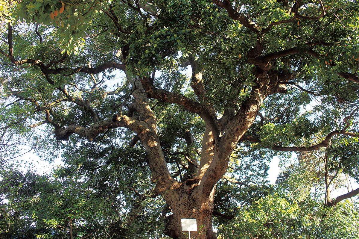 県内屈指の名木
