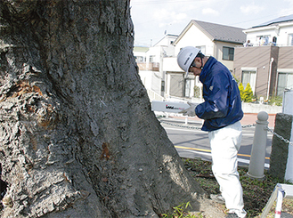樹木医が幹周りを計測するようす